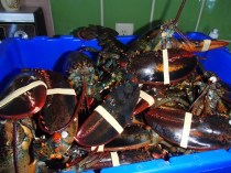 Fresh New Years Eve Lobsters, courtesy of Off the Hook CSF