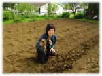 Planting lobster to fertilize the potato beds