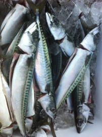 Fresh line-caught mackerel. Photo by Dave Adler.