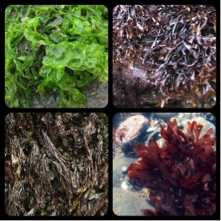 Shown in clockwise order starting in the left upper corner: Ulva (commonly known as sea lettuce), Mastocarpus (commonly known as false Irish moss), Palmaria Palmata (known as dulse), and Porphyra (known as