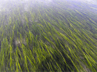 Healthy eelgrass meadow