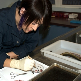 Shelley Denny dissects an eel