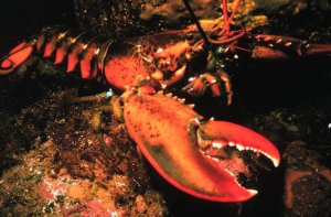 The mighty lobster, an important species threatened by the use of pesticides in the aquaculture industry